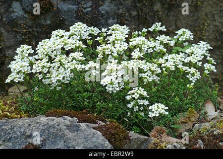 Chamois Cress, Chamois Grass (Pritzelago alpina, Hutchinsia alpina, Iberidella alpina), blooming, Germany - Stock Photo