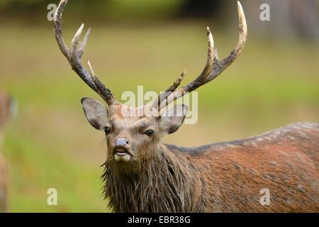 Sika deer, Tame sika deer, Tame deer (Cervus nippon), picking up the scent - Stock Photo