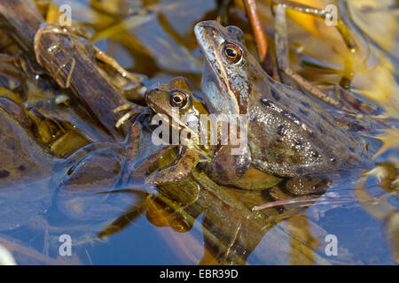 common frog, grass frog (Rana temporaria), male clutching the female, Germany - Stock Photo