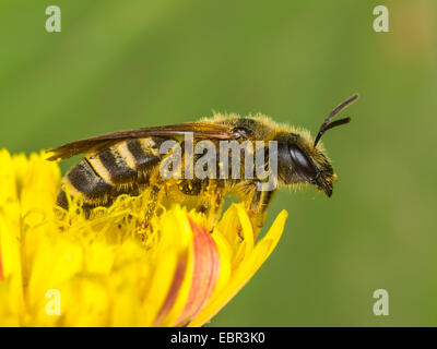 Sweat bee (Halictus scabiosae), female foraging on crepis, Germany - Stock Photo