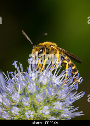 Sweat bee (Halictus scabiosae), male foraging on Eryngium planum, Germany - Stock Photo