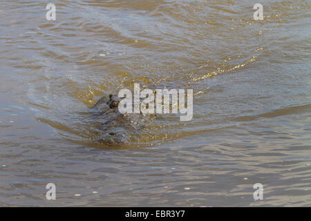 American crocodile (Crocodylus acutus), swimming, Costa Rica, Rio Tarcoles - Stock Photo