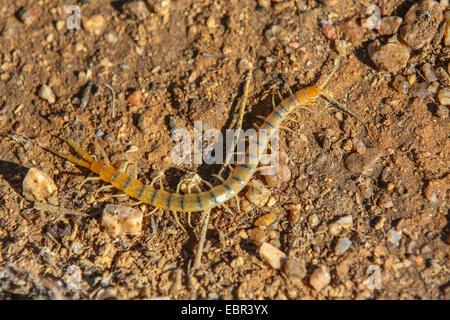 centipedes, chilopodians (Scolopendra heros arizonensis), on the ground, USA, Arizona, Phoenix - Stock Photo