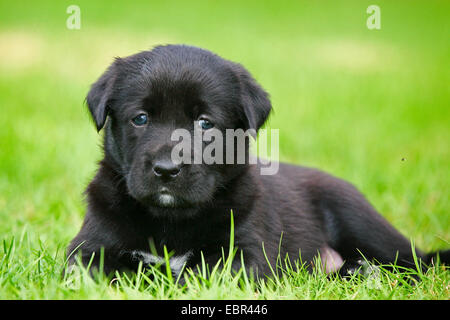 Labrador Retriever (Canis lupus f. familiaris), Labrador-puppy lying in a meadow, Germany - Stock Photo