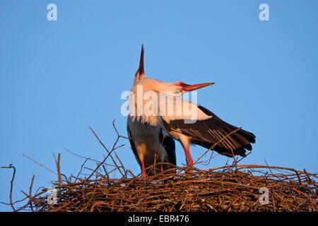 white stork (Ciconia ciconia), stork welcoming partner, Switzerland, Sankt Gallen - Stock Photo