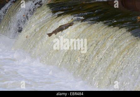 Atlantic salmon, ouananiche, lake Atlantic salmon, landlocked salmon, Sebago salmon (Salmo salar), salmon jumping - Stock Photo