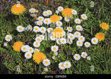 common daisy, lawn daisy, English daisy (Bellis perennis), lawn daisies with dandelions and ground ivies, Germany
