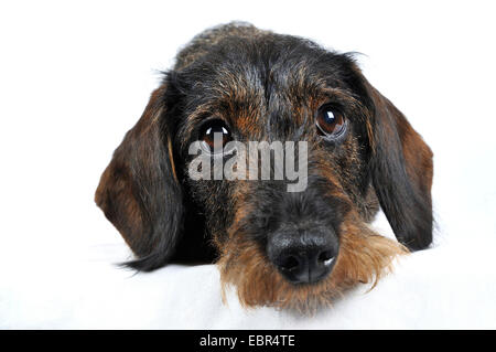 Wire-haired Dachshund, Wire-haired sausage dog, domestic dog (Canis lupus f. familiaris), lying dachshund in front - Stock Photo