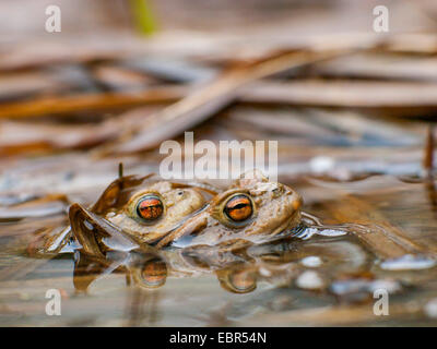 European common toad (Bufo bufo), clasping pair on the surface of the water, Germany - Stock Photo