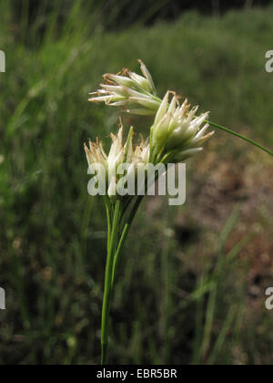 white beak-sedge (Rhynchospora alba), inflorescences, Germany, North Rhine-Westphalia, Wahner Heide - Stock Photo