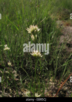 white beak-sedge (Rhynchospora alba), blooming, Germany, North Rhine-Westphalia, Wahner Heide - Stock Photo