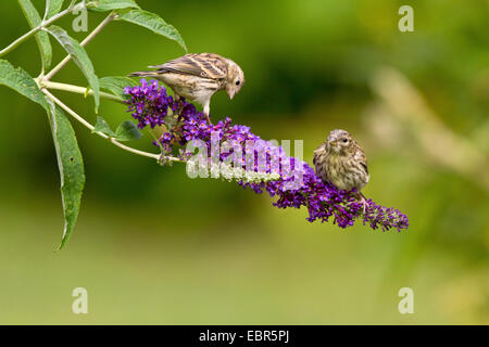 European serin (Serinus serinus), two young birds sitting on a blooming twig of a summer lilac, Germany - Stock Photo