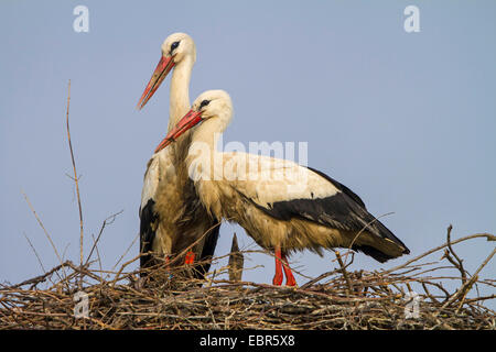white stork (Ciconia ciconia), pair on the nest with a chick, Switzerland, Sankt Gallen, Rheineck - Stock Photo