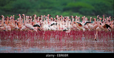 Lesser flamingo (Phoeniconaias minor, Phoenicopterus minor), lesser flamingos at Lake Bogoria, Kenya - Stock Photo