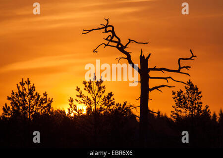 silhouettes of a dead tree and conifers in the early morning, Germany - Stock Photo