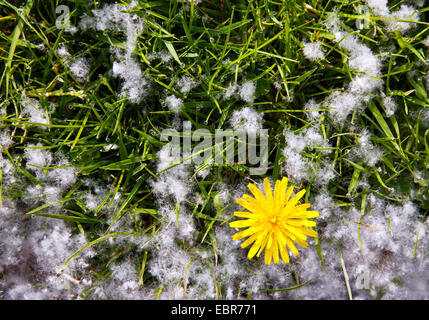 aspen, poplar (Populus spec.), seeds in a meadow with dandelion, Germany, North Rhine-Westphalia - Stock Photo