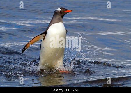 gentoo penguin (Pygoscelis papua), leaving the sea, Antarctica, Falkland Inseln, Sounders Island - Stock Photo