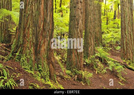California redwood, coast redwood (Sequoia sempervirens), tree trunks and tree ferns, New Zealand, Northern Island, - Stock Photo