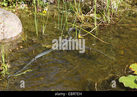 grass snake (Natrix natrix), series picture 16, two snakes fighting for a frog, Germany, Mecklenburg-Western Pomerania - Stock Photo