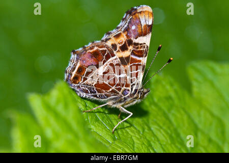 map butterfly (Araschnia levana), with wings closed, Germany - Stock Photo