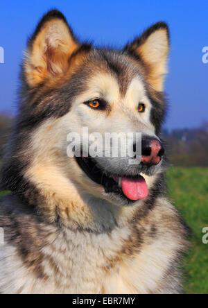 Alaskan Malamute (Canis lupus f. familiaris), five year old female, portrait, Germany - Stock Photo