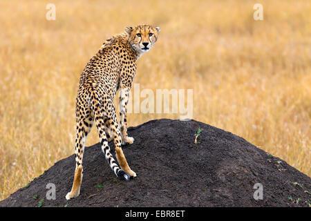 cheetah (Acinonyx jubatus), standing on a mound of earth and looking back toward camera , Kenya, Masai Mara National - Stock Photo