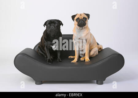 Pug (Canis lupus f. familiaris), two pugs sitting side by side on a noble dog sofa - Stock Photo
