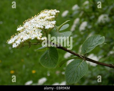 wayfaring-tree (Viburnum lantana), inflorescence, Germany - Stock Photo