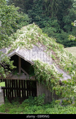 Russian vine, Bukhara fleeceflower, Chinese fleecevine, mile-a-minute, silver lace vine (Fallopia baldschuanica, - Stock Photo
