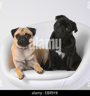 Pug (Canis lupus f. familiaris), two pugs together in a noble dog armchair - Stock Photo