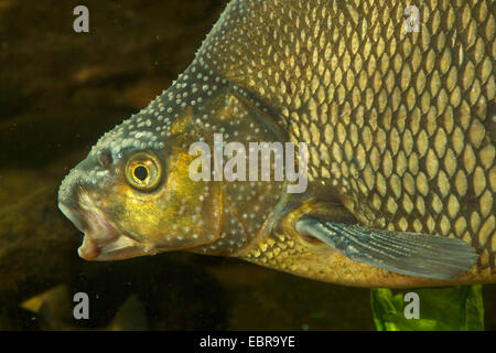 common bream, freshwater bream, carp bream (Abramis brama), male with nuptial colouration, portrait, Germany - Stock Photo