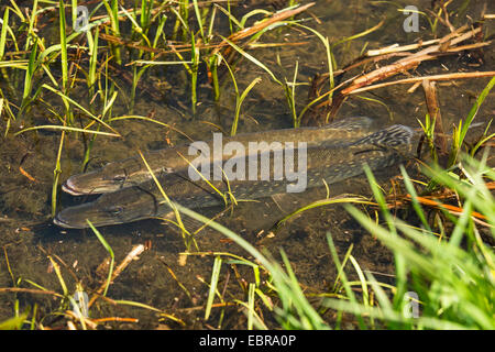pike, northern pike (Esox lucius), spawning, in a flooded meadow, Germany, Bavaria, Isental - Stock Photo