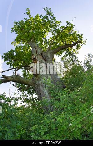common oak, pedunculate oak, English oak (Quercus robur), old gnarled oak tree, Germany, Schleswig-Holstein - Stock Photo
