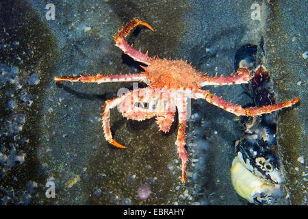 Northern stone crab, King crab (Lithodes maja, Lithodes maja, Lithodes arctica), on a stone - Stock Photo