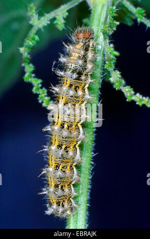 Painted lady (Cynthia cardui, Vanessa cardui, Pyrameis cardui), Painted lady caterpillar scuttling on a stem, Germany - Stock Photo
