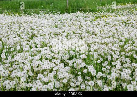 common dandelion (Taraxacum officinale), dandelion meadow, Germany - Stock Photo