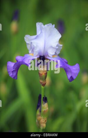 Garden iris, German iris, Bearded iris, Fleur-de-lis (Iris germanica), flower - Stock Photo
