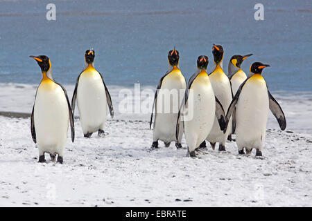 king penguin (Aptenodytes patagonicus), grout at the snowy coast of the Atlantic Ocean, Antarctica, Suedgeorgien, - Stock Photo