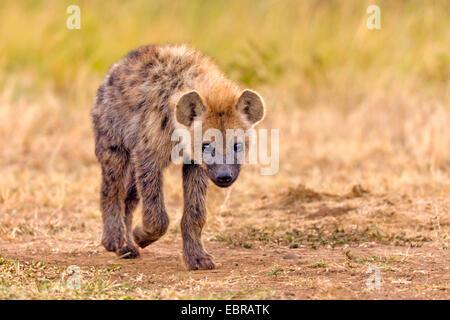 spotted hyena (Crocuta crocuta), on the feed, Kenya, Masai Mara National Park - Stock Photo