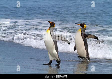 king penguin (Aptenodytes patagonicus), two king penguins going on shore, Antarctica, Suedgeorgien, St. Andrews Bay
