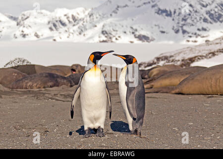 king penguin (Aptenodytes patagonicus), two king penguins on the beach with elephant seals, Antarctica, Suedgeorgien, St. Andrews Bay