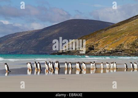 gentoo penguin (Pygoscelis papua), group on the baech, Antarctica, Falkland Islands, Sounders Island - Stock Photo