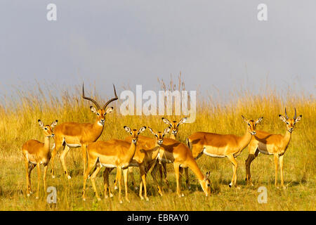 impala (Aepyceros melampus), herd in savannah, Kenya, Masai Mara National Park - Stock Photo