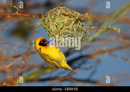 African masked weaver (Ploceus velatus), male building the nest, South Africa, Barberspan Bird Sanctury - Stock Photo