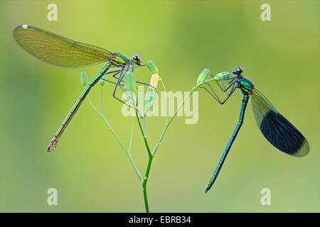 banded blackwings, banded agrion, banded demoiselle (Calopteryx splendens, Agrion splendens), couple on a flower, - Stock Photo
