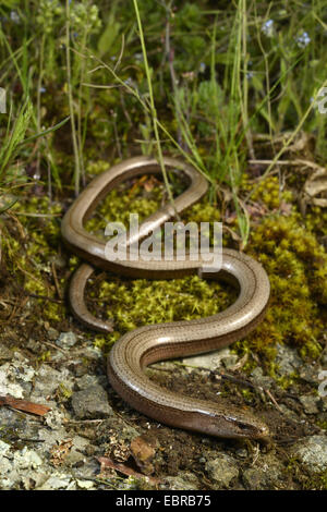 Eastern slow worm, blindworm, slow worm (Anguis fragilis colchica, Anguis colchica), female winding on the ground, - Stock Photo