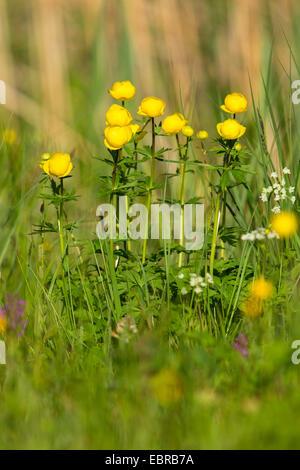 globeflower (Trollius europaeus), blooming, Germany, Bavaria - Stock Photo