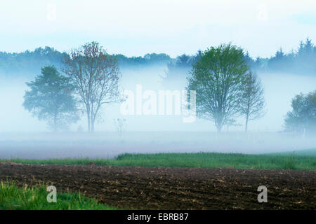 single trees in field scenery in early morning mist, Germany, Baden-Wuerttemberg, Ortenau, Kehl - Stock Photo