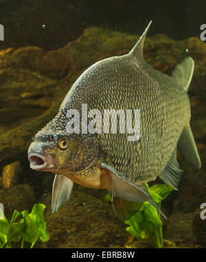 common bream, freshwater bream, carp bream (Abramis brama), male with nuptial colouration, Germany - Stock Photo