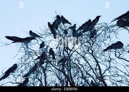 Hooded crow (Corvus corone cornix, Corvus cornix), carrion crows in sleeping tree, Norway, Troms, Tromsoe - Stock Photo